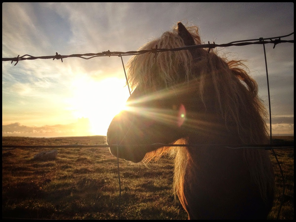 Shetland pony close up horse miniture little legs mane barbewire fencing sunset flare flair clouds warm windy