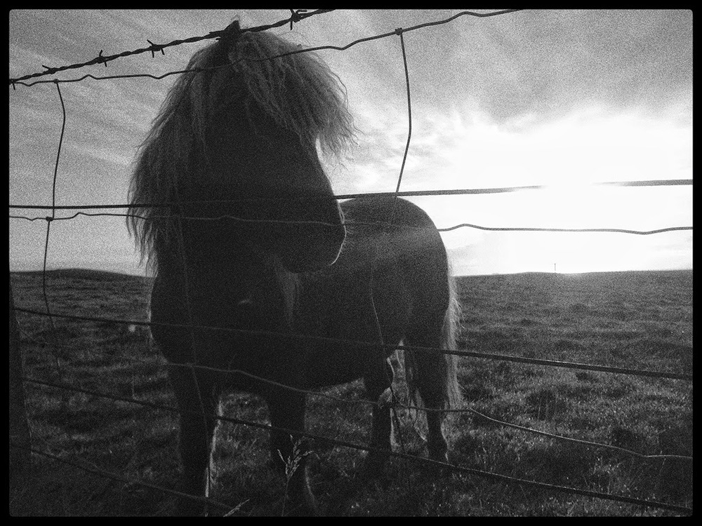 Shetland pony horse miniture little legs mane barbewire fencing sunset flare flair clouds warm windy Shetland home black and white
