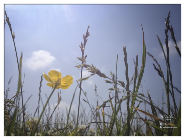 iPhone photo of buttercup on Dunstable downs in the sun