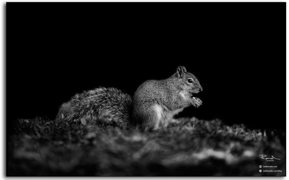grey squirrel uk eating nuts
