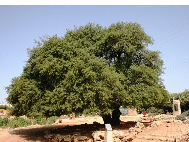gush etzion info tree 3