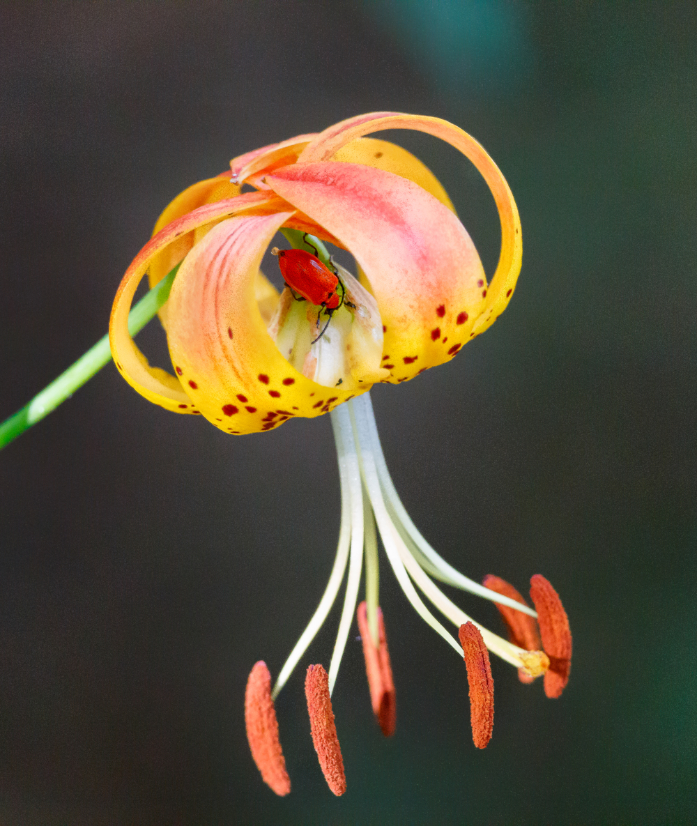 Tiger Lilly (Lilium superbum) and lily leaf beetle (Lilioceris lilii)