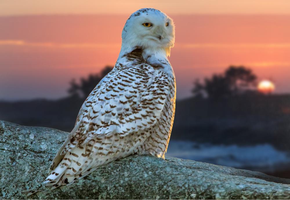 Snowy Owl, Sachuest Point, RI.