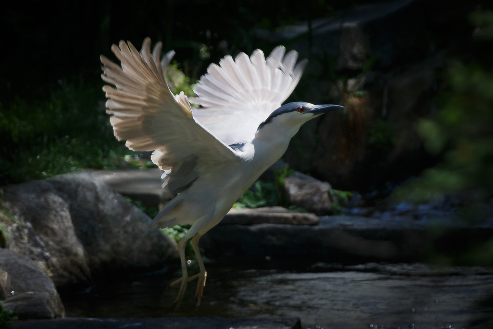 Black Crowned Night Heron - Image by Gary Detonnancourt