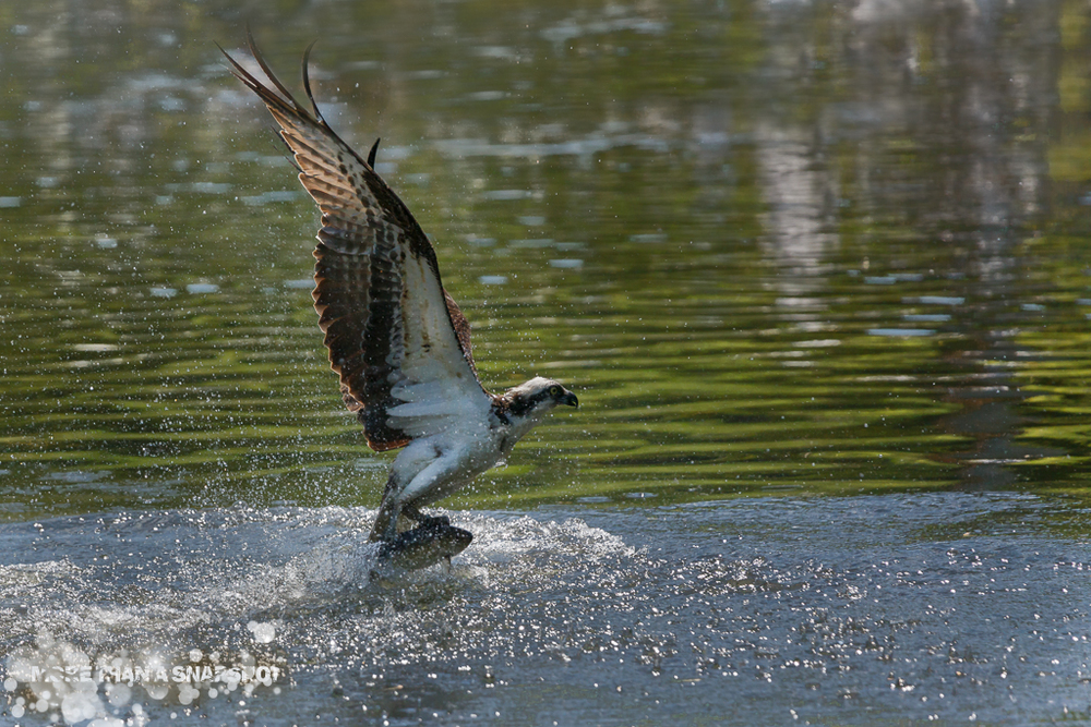 Osprey - Image by Gary Detonnancourt
