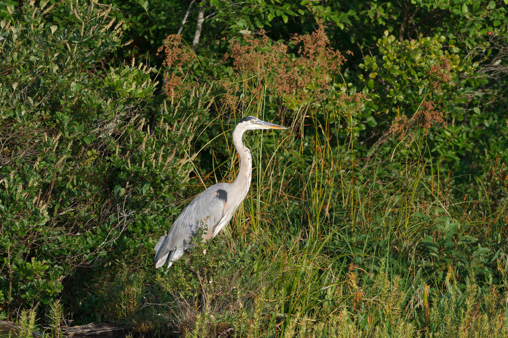 I photographed this heron while bass fishing last week.  Luckily this bird keeps going to the bank with great light just before sunset.
