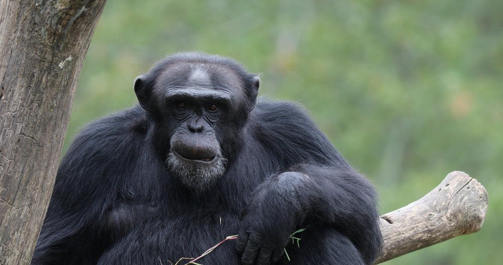 chimp1.jpg