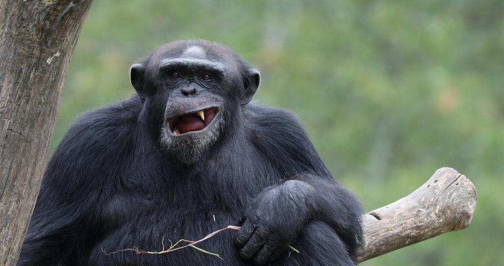 chimp5.jpg