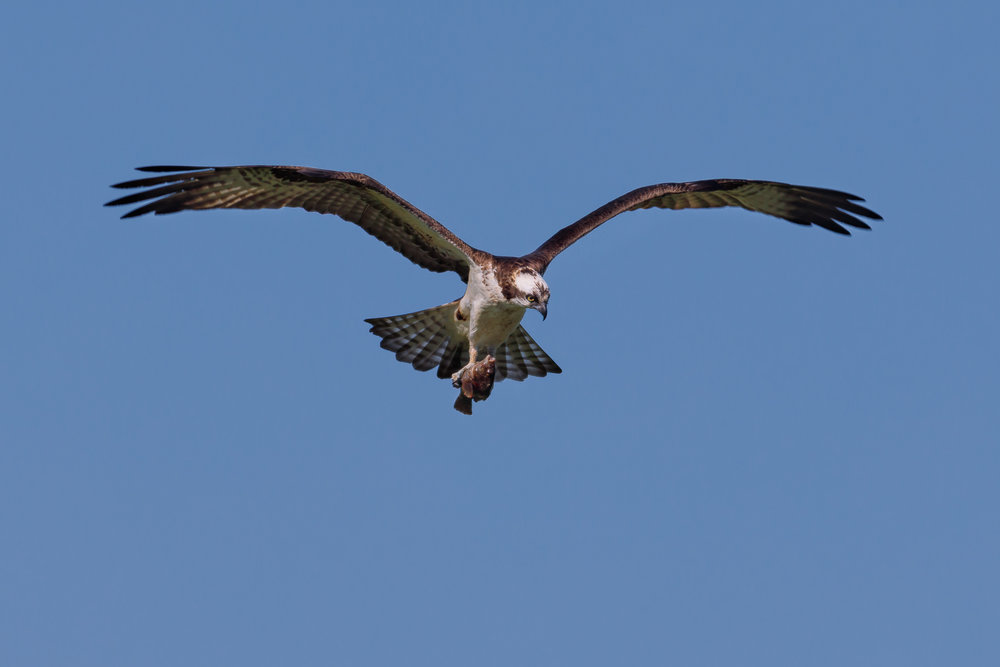 osprey nest in Middletown-0789-Edit.jpg