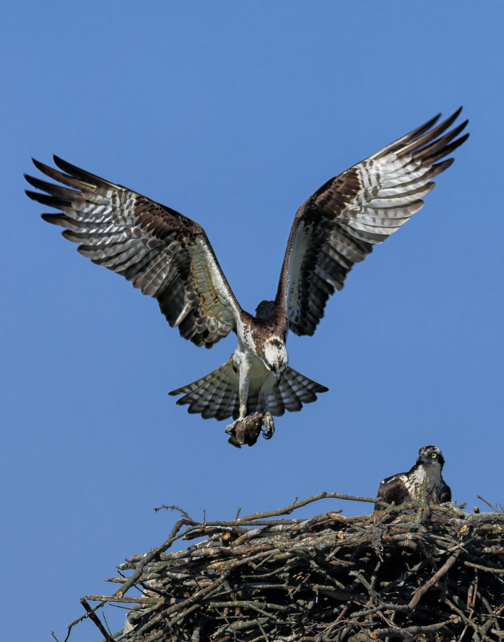 osprey nest in Middletown-0795-Edit.jpg