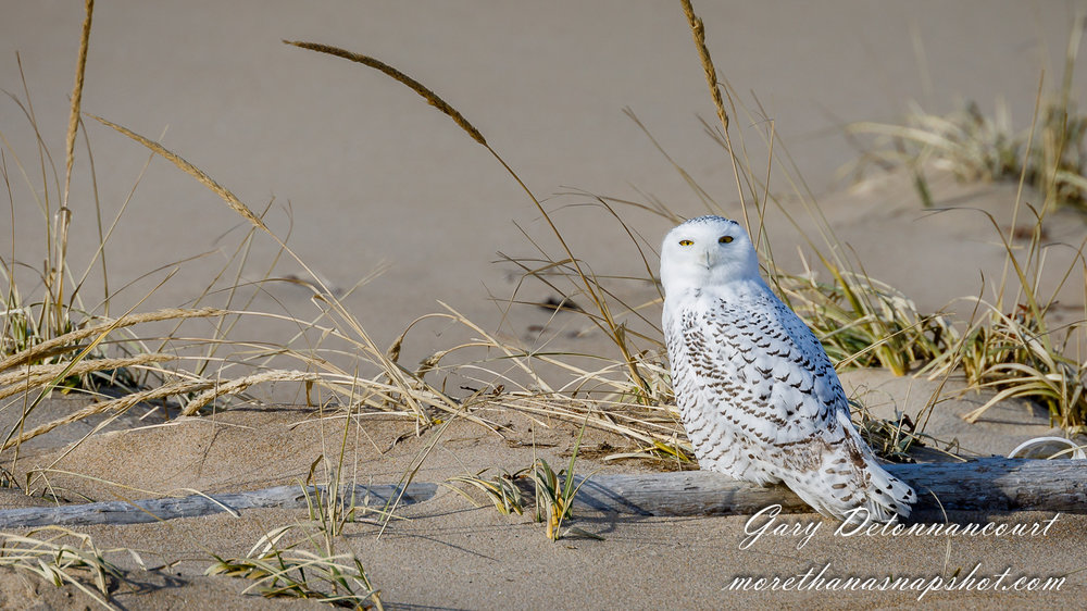 Snowy Owl 12 2017-0842-Edit.jpg