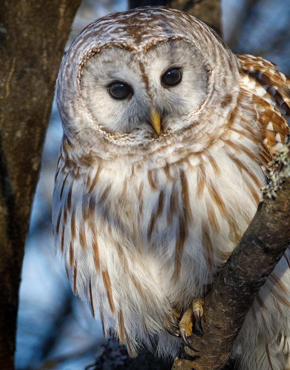 bard owl-5904-Edit.jpg