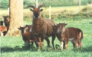 Castlemilk Moorit sheep (image: RBST).