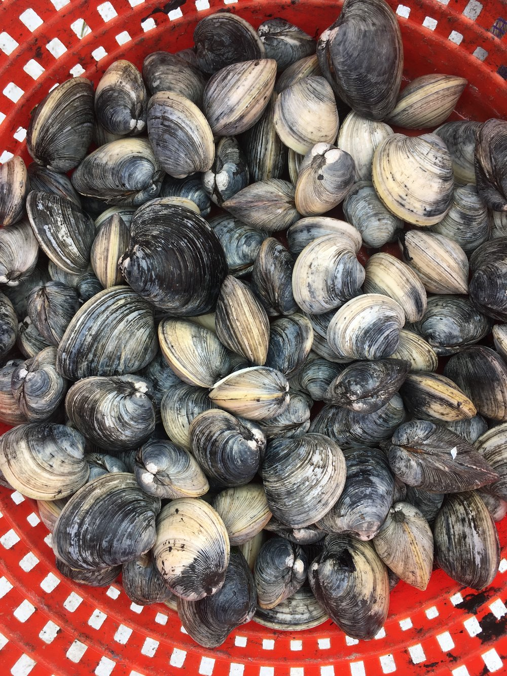 Seriously, how beautiful is this basket of clams ?! I love the deep inky blues the clams have when he first pulls them out from the mud.  I see another clammy painting in my not-too-distant future.
