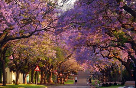 (1)SOUTH AFRICA-PRETORIA-JACARANDA-BLOSSOM