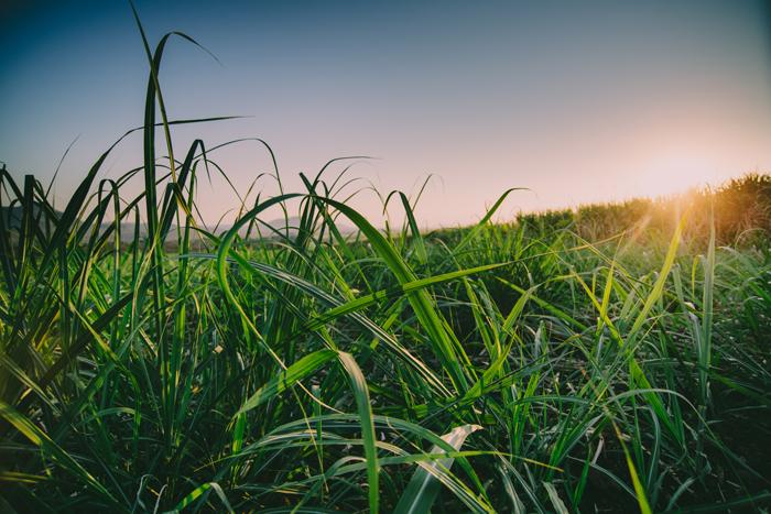 young sugarcane in the setting sun.jpg
