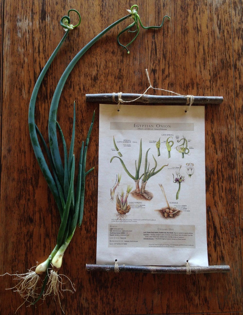 Egyptian Onions - Harvest Bulbs, Stems, and Flower topsPlant ID Pages from the book Foraging & Feasting; A Field Guide and Wild Food Cookbookwww.botanicalartspress.com