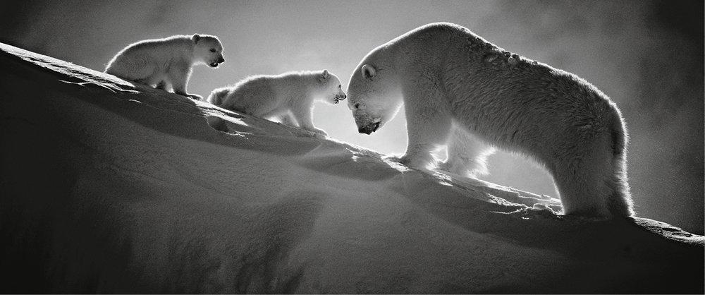Osos polares - Eterna ternura en nieve suspendida, Baffin Island, Canada, 2016.  (© Laurent Baheux).