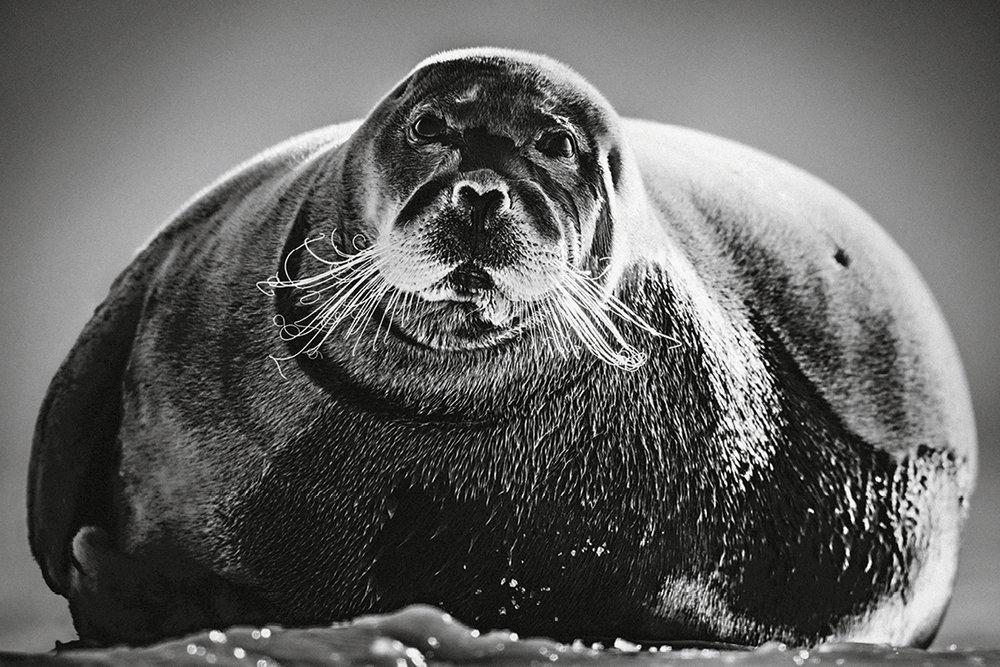 Foca, Svalbard, 2014.  (© Laurent Baheux).