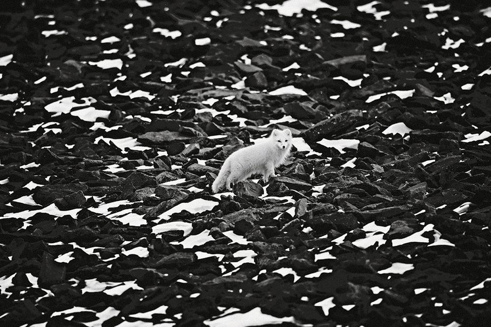 Zorro ártico, Svalbard, 2014.  (© Laurent Baheux).