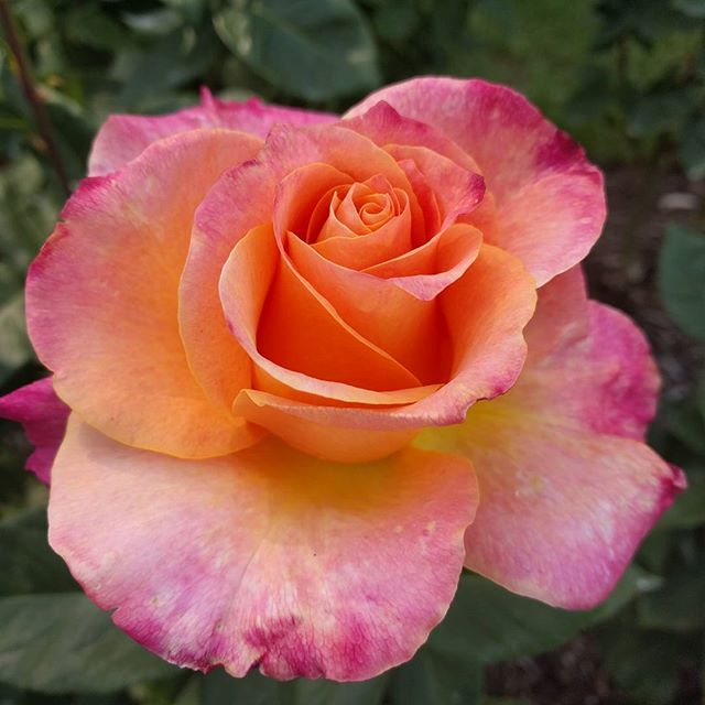 Portland Rose Garden. #nofilter