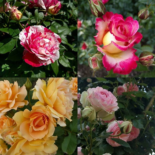 I seriously love the Portland Rose Garden, and it's in full feral bloom right now. So lovely.