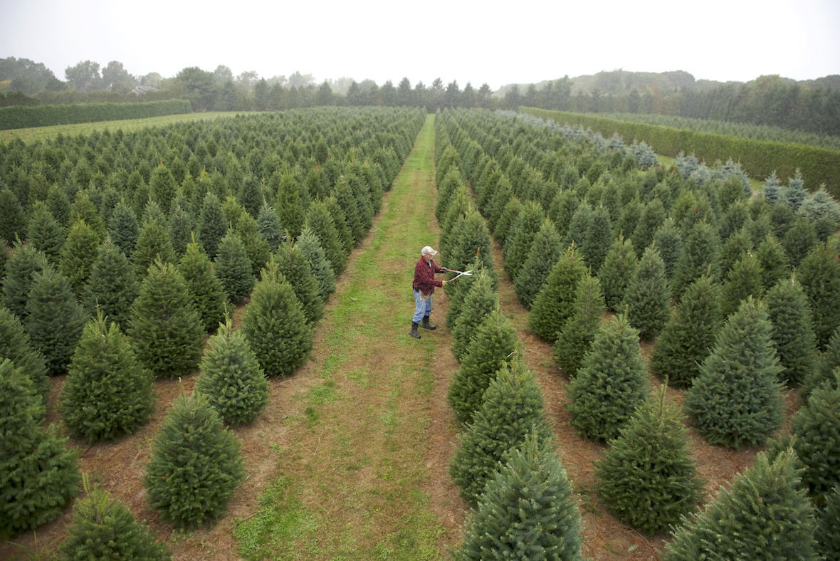 Which Christmas Tree Is Best For My Family O Donnell Bros Inc