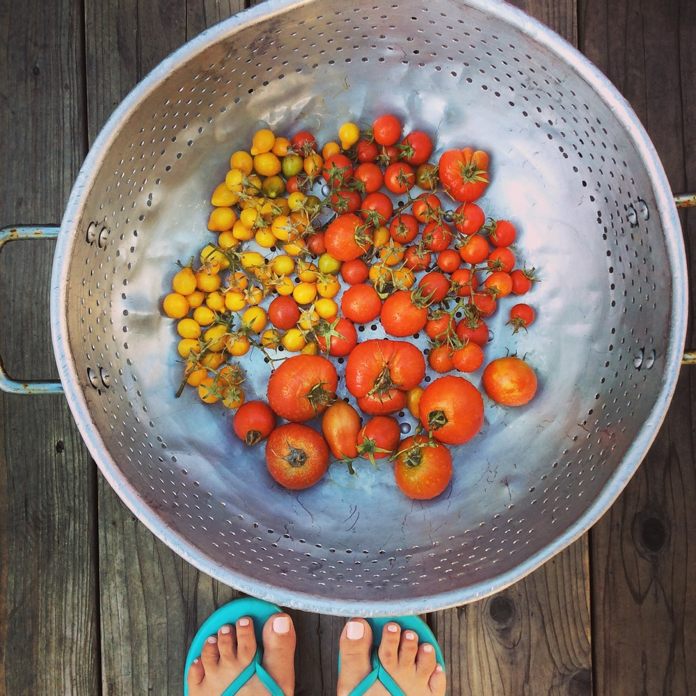 One of the many, many tomato hauls from 2015. This one became my very first tomato confit.