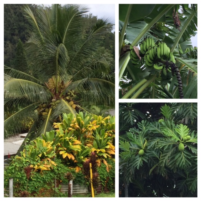 Coconuts, bananas and breadfruit were everywhere in Hana.