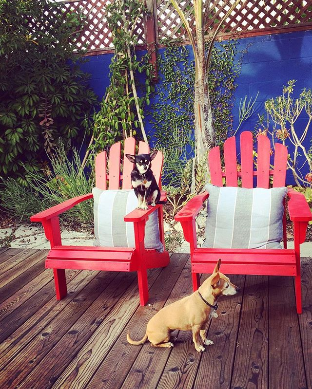 Yep. They just sit there and wait until I come back with my cocktail. #ordinarysunday #december #chilltime #remoandfrida #remoisthecoolest #chihuahuasofinstagram #chilife #chiweenie #tricolore #minidogs #minidogsofinstagram #socalchihuahuas #adirondackchairs #red #blue #colorlove #outdoorliving #backyardlife #losangeles #toomuchbeauty