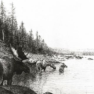 """Allagash Moose"" etching--check it out in the e-store! (Can be reached through link on profile). #moose #art #etching #artist #allagash #wildlife #nature ⭐️"