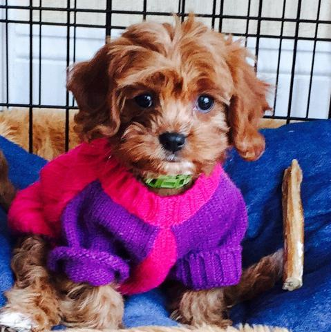 Cavapoo Puppy Review