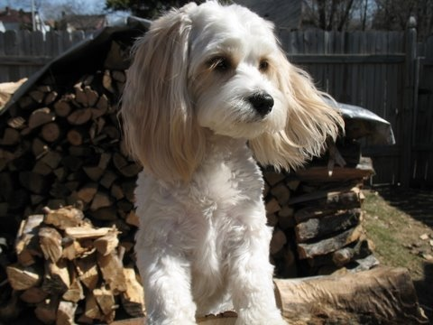 Reviews on Cavachon Breeders