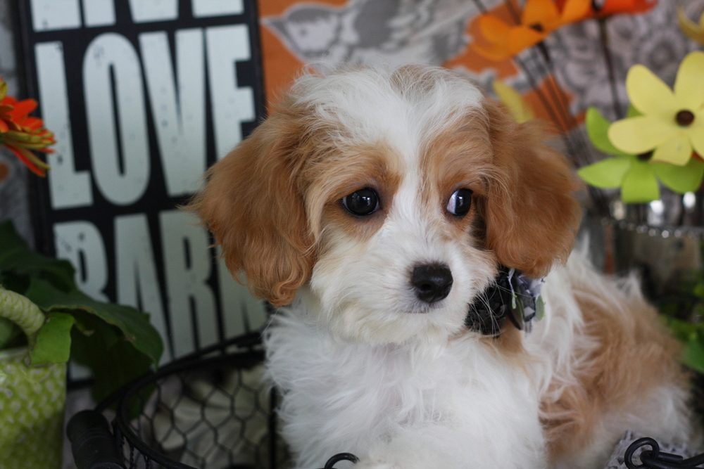 Cavachon Puppy Blenheim