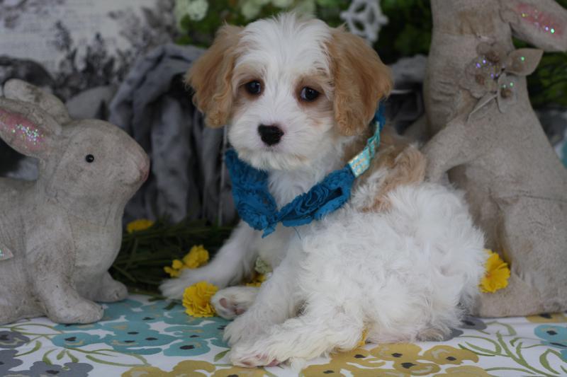 Cavachon boy puppy
