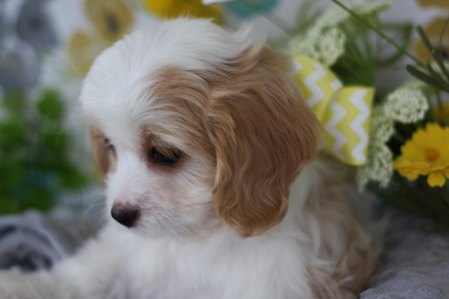 Blenheim Cavachon Puppy