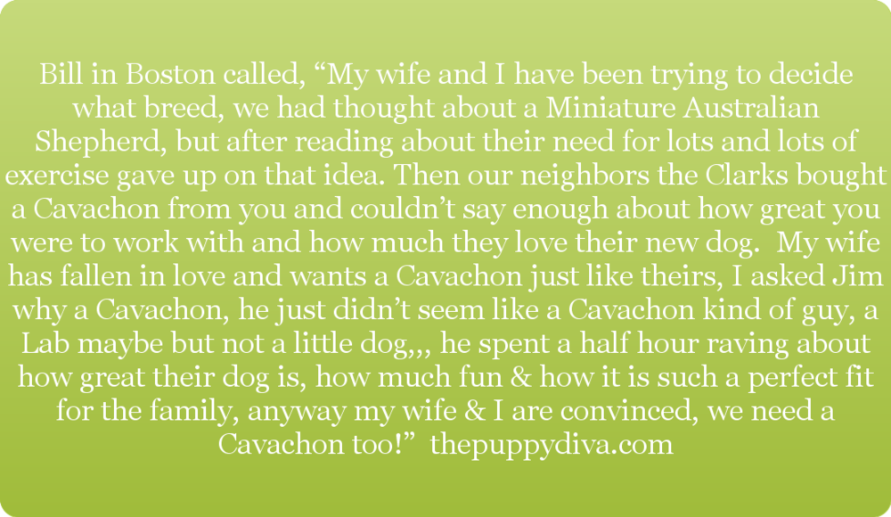 Cavachon Review on thepuppydiva