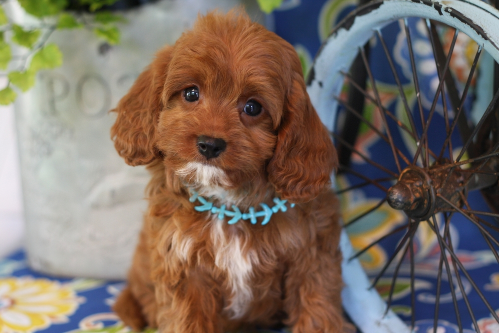 Cavapoo Puppy ruby color from Foxglove Farm