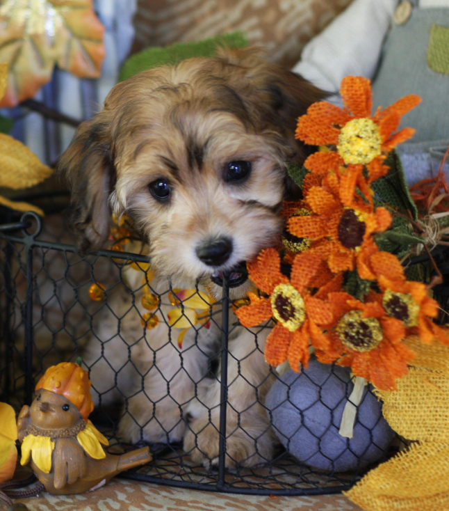 Cavachon Sable Puppy Training