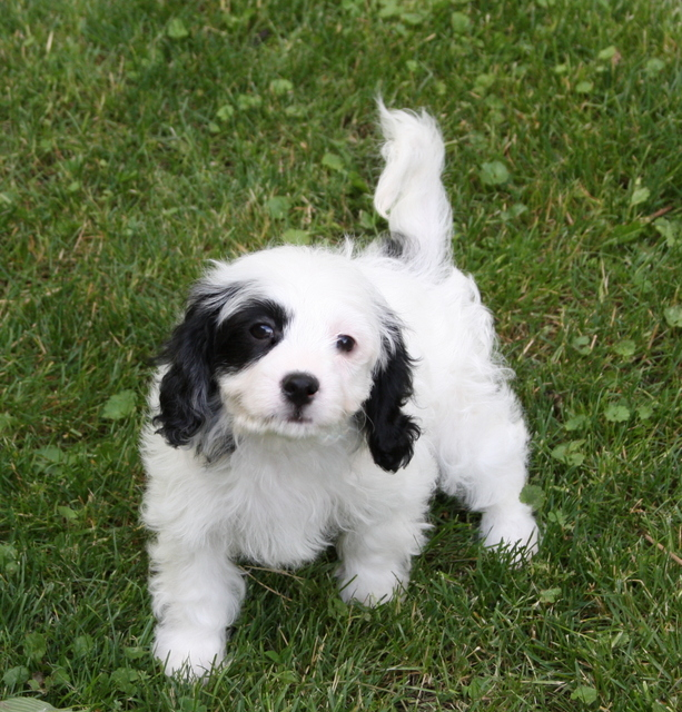 Foxglove Farm Cavachon And Cavapoo Puppies