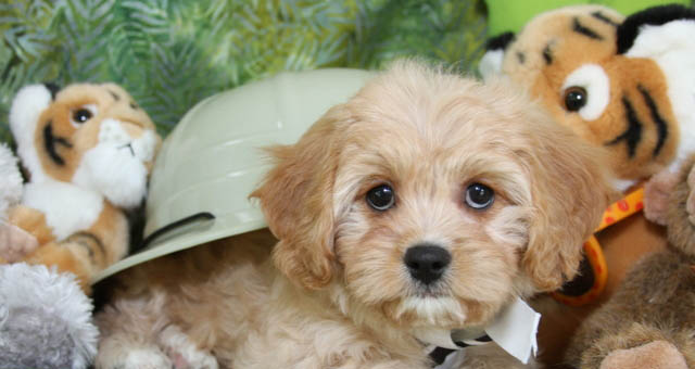 Ruby Cavachon Puppy