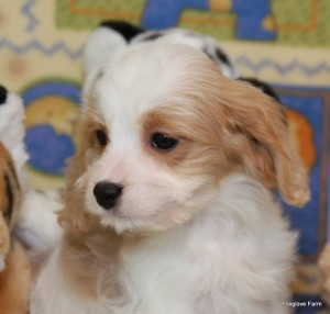 Blenhiem Cavachon Puppy