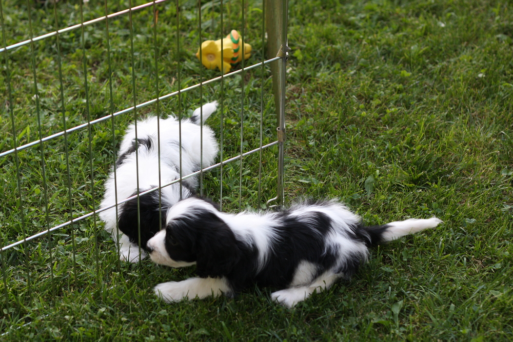 Cavachon puppies at play