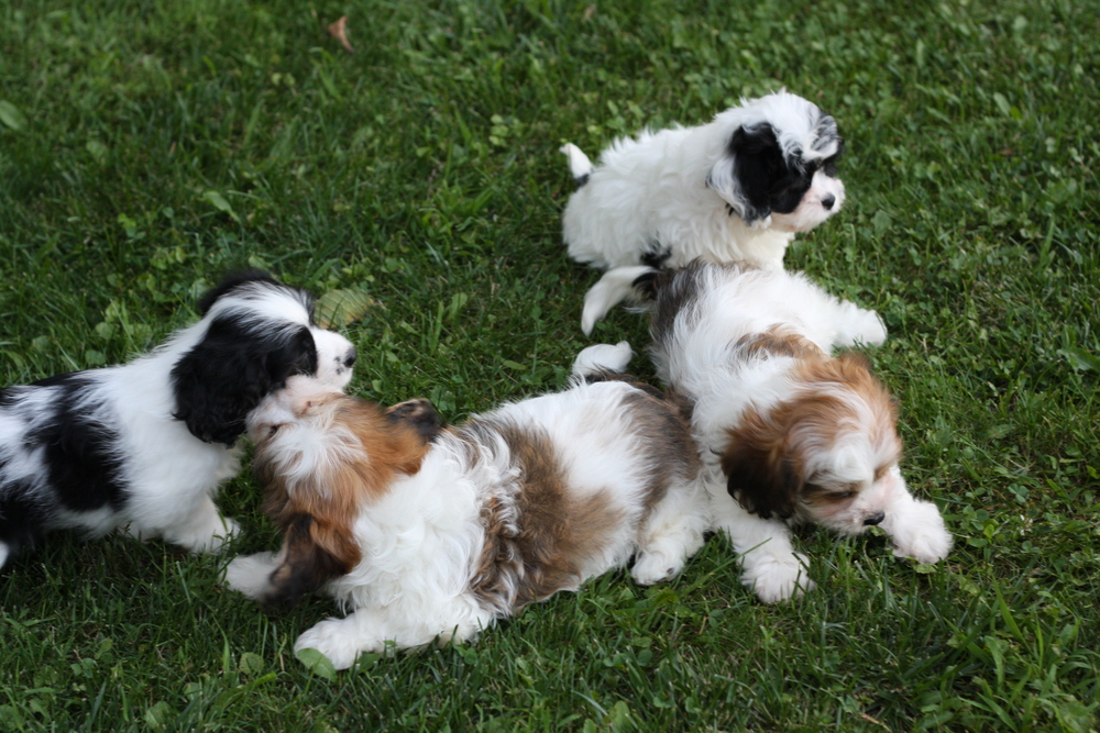 Sable & Tri-Color Cavachon puppies