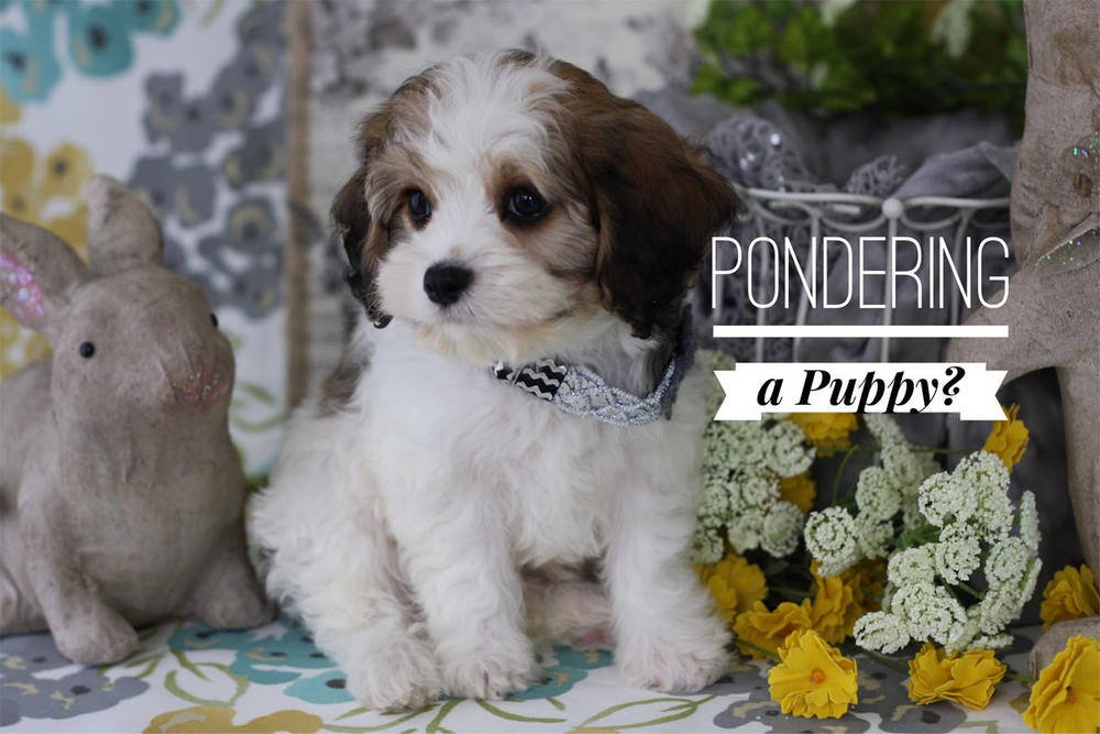 Cavachon Puppies For Sale By Foxglove Farm Cavachon Cavapoo