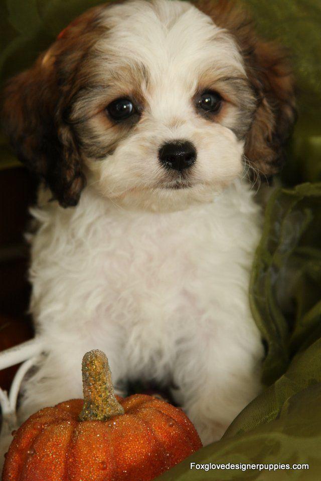 Foxglove Farm Cavachon Puppy