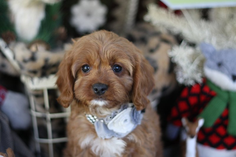 Ruby Cavapoo Girl Puppy