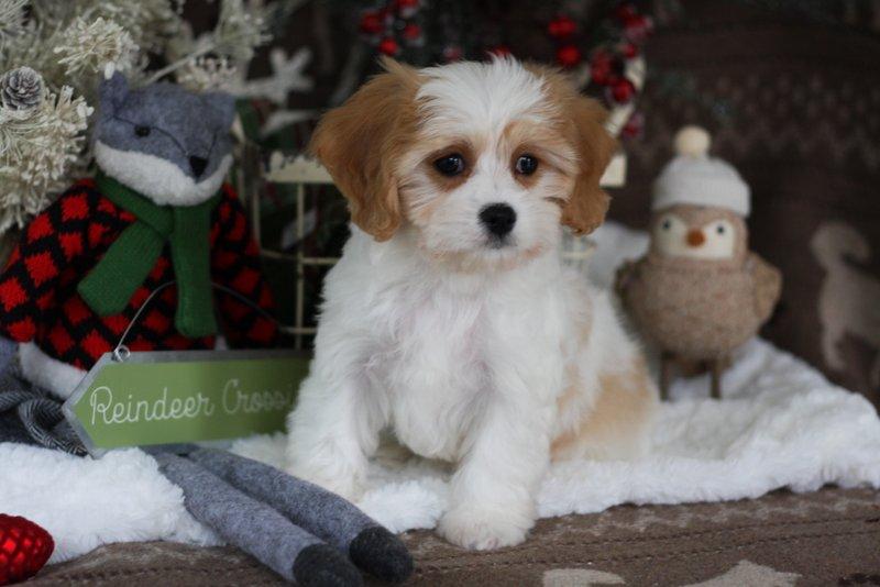 Foxglove Cavachon Puppy