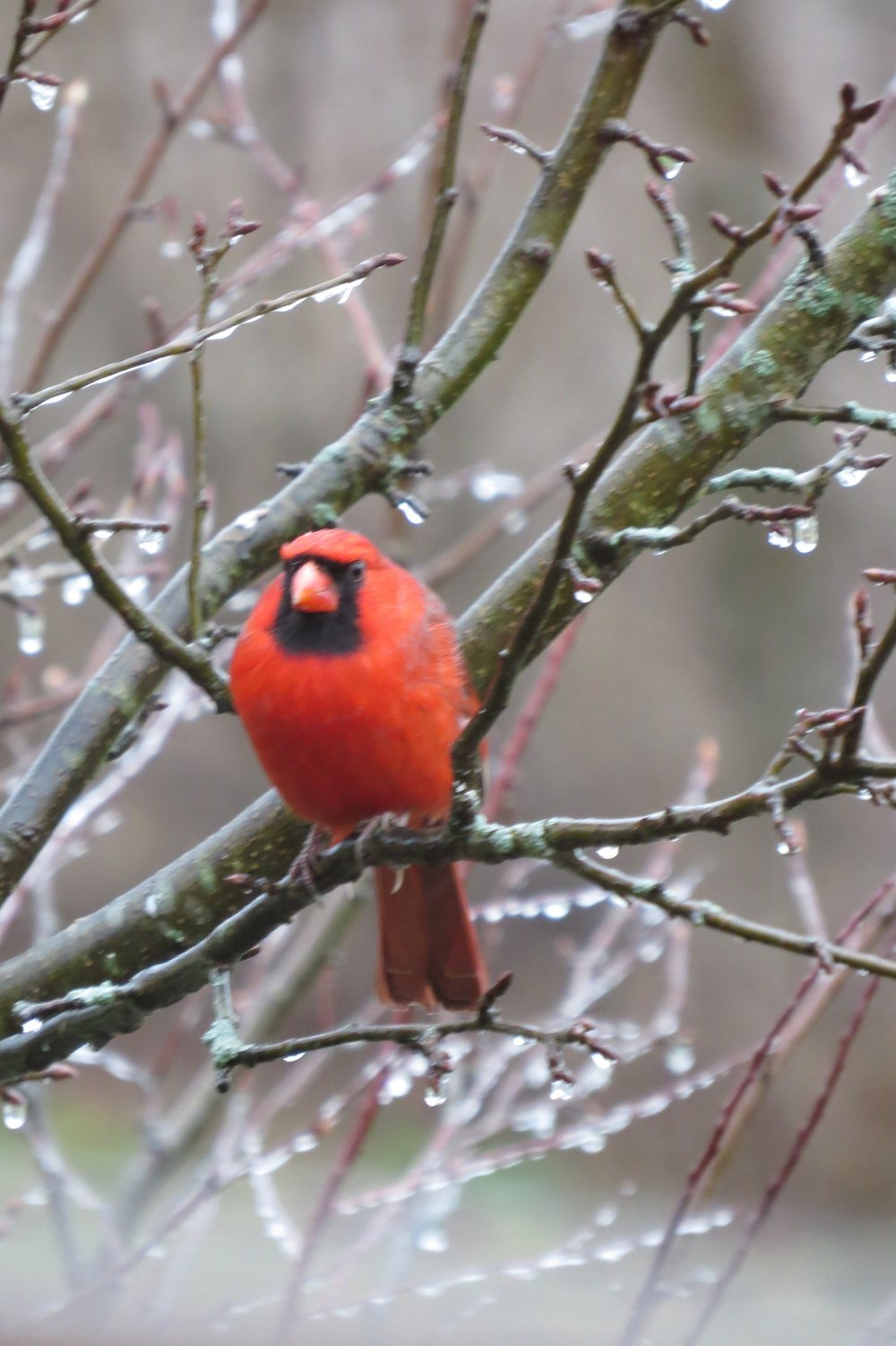 Cardinal at Foxglove Farm