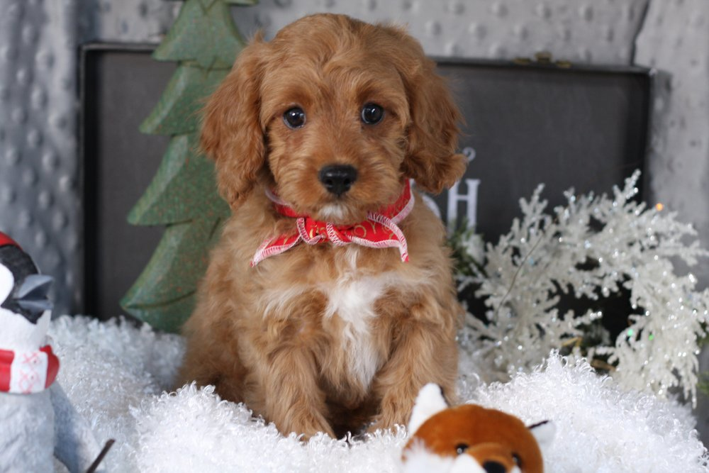 Cavapoo puppy Wagglemeister